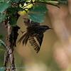 Boomkruiper Certhia brachydactyla Shorttoed treecreeper Grimpereau des jardins Gartenbaumläufer