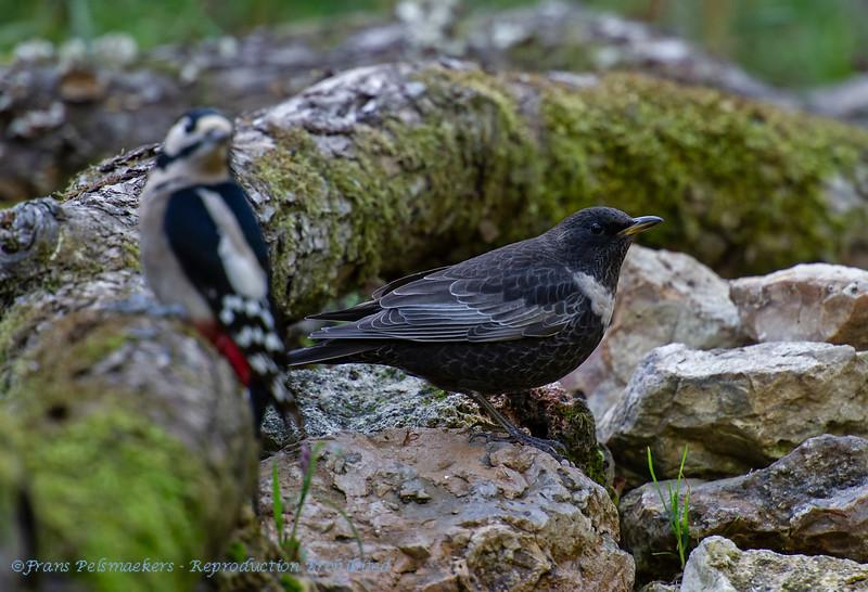 Ring ouzel & Great spotted woodpecker