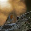 Robin at sunset