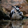 Great Spotted Woodpecker bathing