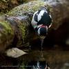 Dendrocopos major; Buntspecht; Great Spotted Woodpecker; Pic épeiche; Grote Bonte Specht major; Buntspecht; Great Spotted Woodpecker; Pic épeiche; Grote Bonte Specht