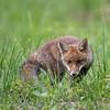 Renard; Vos; Fox; Vulpes vulpes; Fuchs