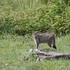 Wilde kat; Felis silvestris; Wildcat; Chat sauvage; Wildkatze; Chat forèstier