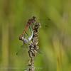 Bruinrode heidelibel Sympetrum striolatum Sympétrum strié Große Heidelibelle Common darter