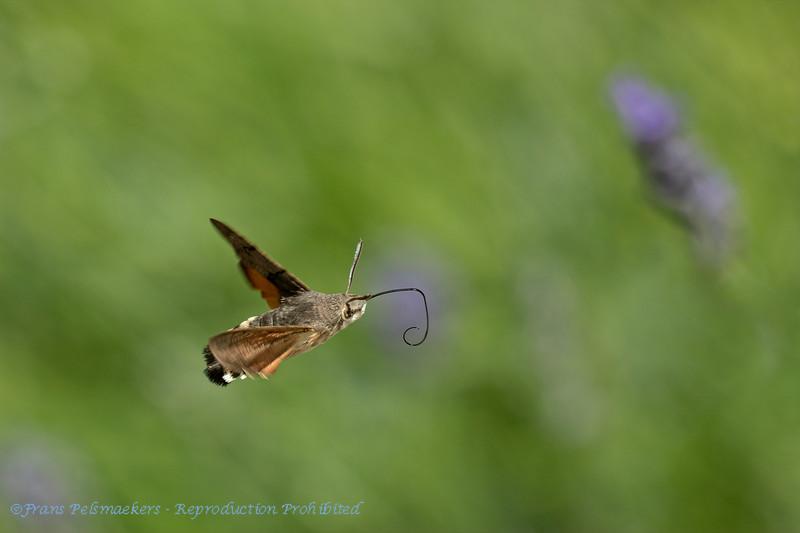 Kolibrievlinder Macroglossum stellatarum Hummingbird hawkmoth Moro sphinx Sphinx colibri Sphinx du caillelait Taubenschwänzchen