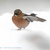 Vink; Fringilla coelebs; Buchfink; Chaffinch; Pinson des arbres; snow; neige; sneeuw
