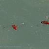 Scarlet dragonflies in pursuit