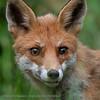 Fox close-up
