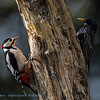 Starling copying Woodpecker