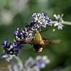 Glasvleugelpijlstaart; Hemaris fuciformis; Sphinx gazé; broadbordered bee hawkmoth; Hummelschwärmer