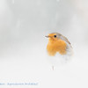 Robin, high key