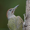 Green Woodpecker juv. close-up