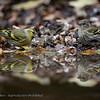 Sijs; Carduelis spinus; Erlenzeisig; Siskin; Tarin des aulnes