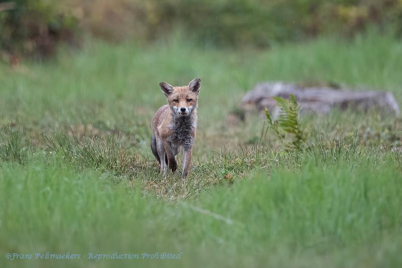 Vos; Fox; Vulpes vulpes; Renard; Fuchs