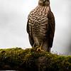 Sperwer 2019 Accipiter nisus Sparrowhawk Epervier d'Europe Sperber