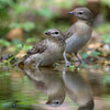 Garden warblers