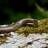 HazelwormAnguis fragilisOrvetSlowwormBlindschleiche