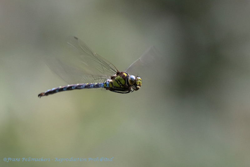 Glassnijder; Hairy dragonfly; Brachytron pratense; Æschne printanière; Früher Schilfjäger