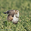 Velduil; Asio flammeus; Hibou des marais; Shorteared owl; Sumpfohreule