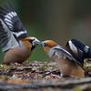 Hawfinch, battling