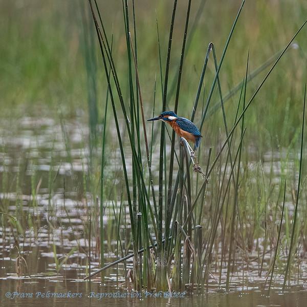 IJsvogel 2019 Alcedo atthis Eisvogel Kingfisher Martinpècheur d'Europe