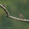Tree pipit with juv.