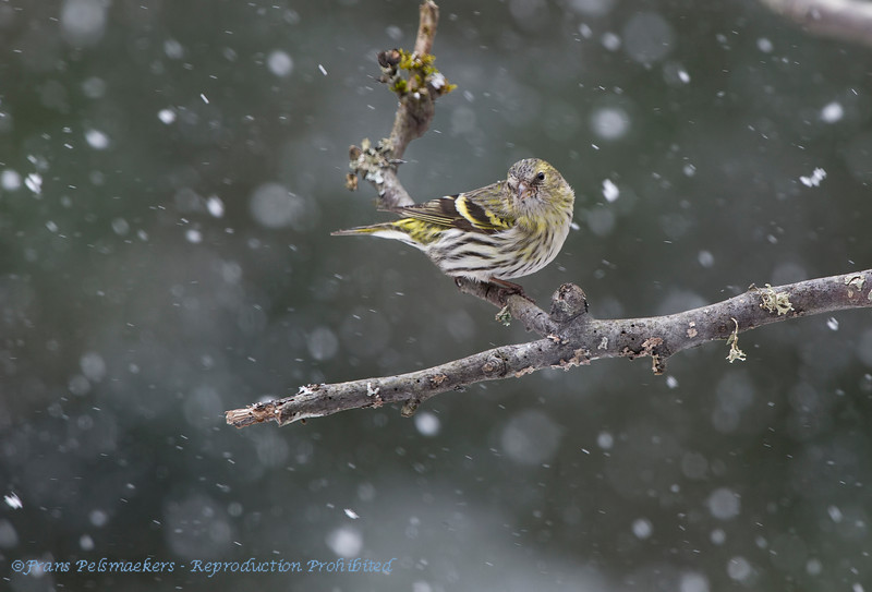 Siskin, snow
