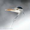 Grey Heron, close-up