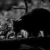 Wasbeer; Gewone wasbeer; Procyon lotor; Raccoon; Raton laveur; Waschbär