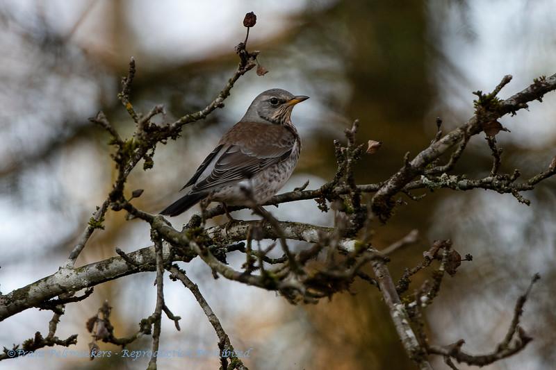Kramsvogel Turdus pilaris Wacholderdrossel Fieldfare Grive litorne