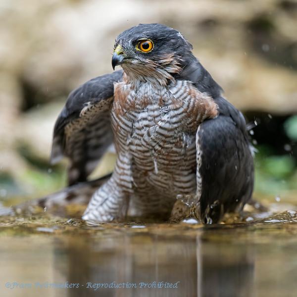 Sparrowhawk bathing