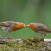 Robin pre-nuptial behaviour