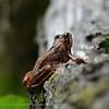 Bruine kikker Rana temporaria Grenouille rousse European common brown frog Grasfrosch