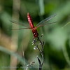 Vuurlibel Crocothemis erythraea Scarlet dragonfly Crocothémis écarlate Libellule écarlate Feuerlibelle