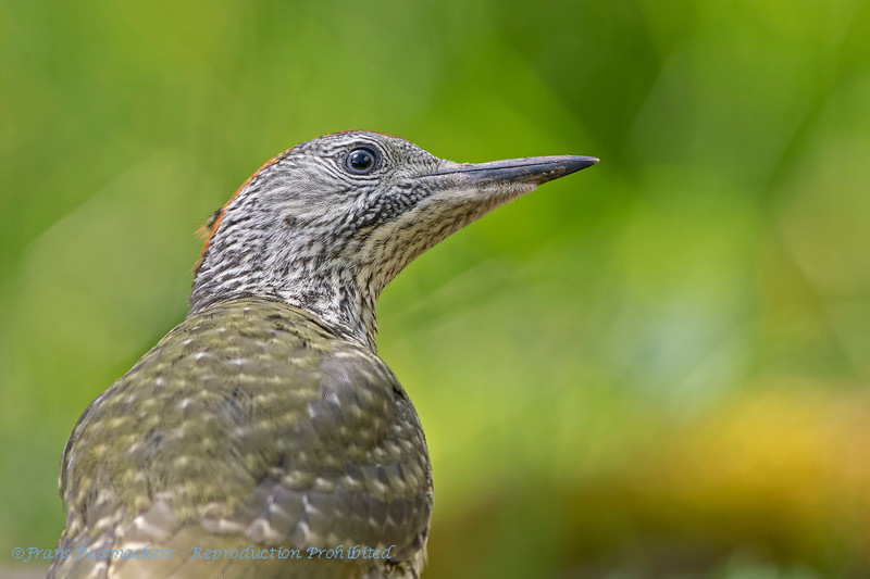 Green Woodpecker juv.