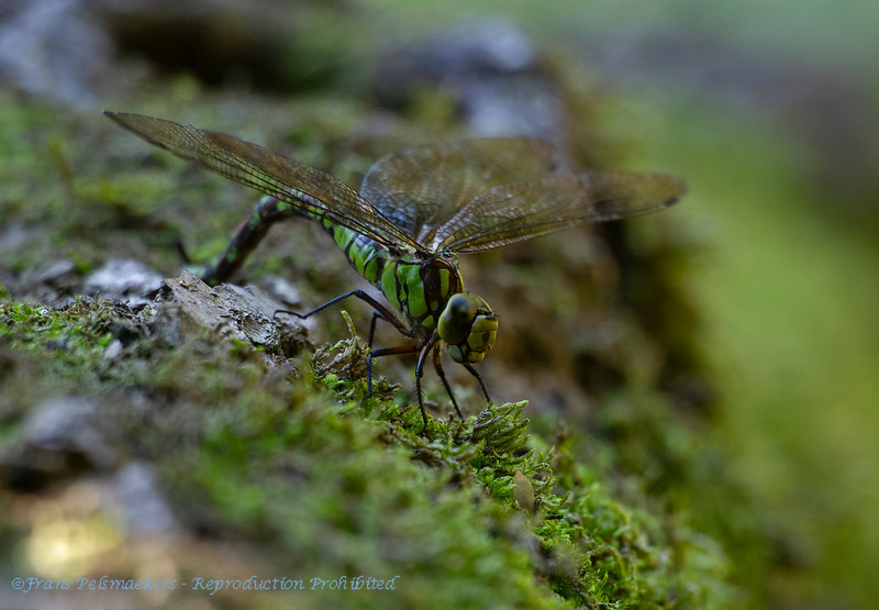 Southern hawker laying eggs