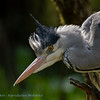 Grey Heron with an itch