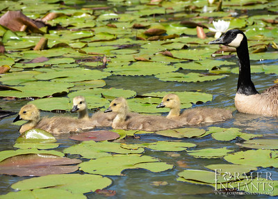 Goslings and Parent