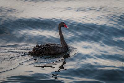 Black Swan (Trauerschwan)
