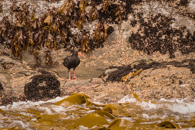 New Zealand Oystercatcher