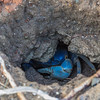 Blue landcrab hiding in his burrow in Fort Sherman.