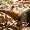 Juvenile Anteater in rainforest. - Juvenile Anteater looking for food in Fort Sherman, Colon, Panama.