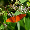 Julia butterfly on flower in rainforest. - Julia butterfly at Fort Sherman, Colon, Panama. Ft Sherman was a US Army base to protect the Canal.
