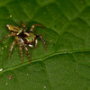 Tiny Jumping spider - Small jumping spider in Panama rainforest.