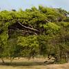 The tradewinds make trees grow sideways.