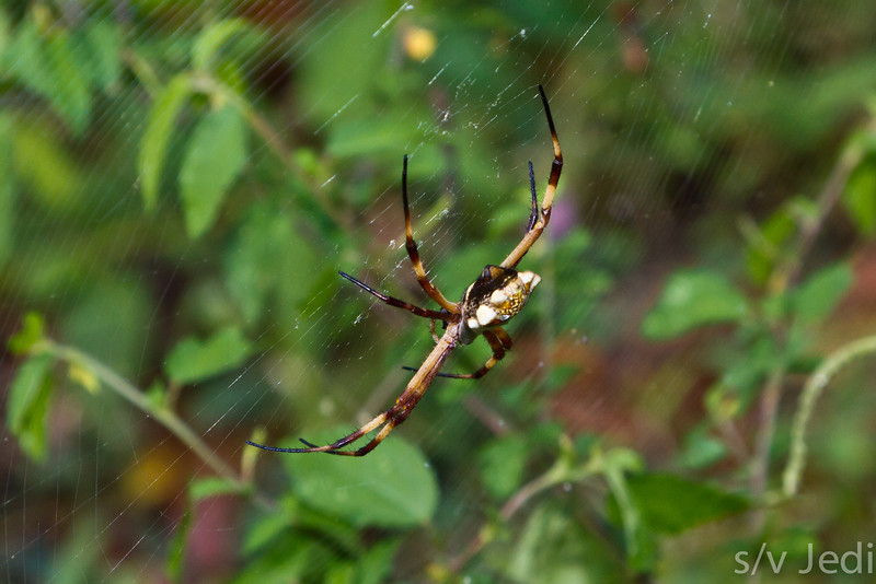 Brown triangle spider in Panama rainforest. - Brown spotted triangle spider at Baird battery, Ft Sherman, Colon, Panama. Fort Sherman was a US Army fort to protect the Canal