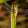 Tiger Dragonfly - Orange/brown striped dragonfly