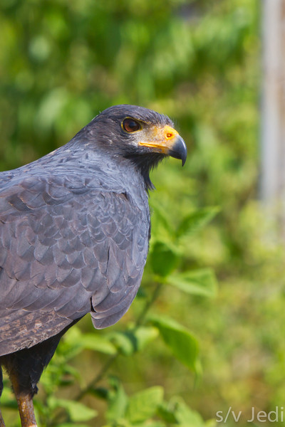 Common Black hawk - Beautiful Hawk and not really afraid of us.