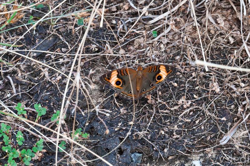 Common buckeye butterfly in rainforest - Orange, brown, black butterfly, common buckeye at fort Sherman, Colon, Panama