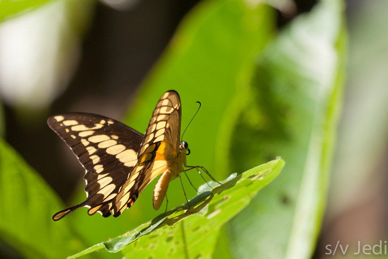 Thoas Swallowtail butterfly in rainforest. - Thoas Swallowtail butterfly on leaf, Fort Sherman, Colon, Panama.